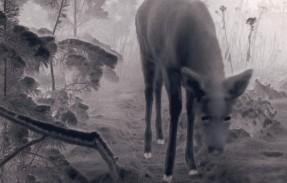 Kuva Milja Viidan lyhytelokuvasta Eläinsilta U3033. Elokuva kuvaa luonnon eläinten ahdasta elämää moottoritien kupeessa. Elokuva on kuvattu osin automaattisilla riistakameroilla. Kuvassa valkohäntäpeura sillan päällä helmikuun pakkasyössä. Tuotanto Filemo Films, 2018. Kuvaaja Milja Viita. Yle projekti nro: 3045453. Yle tuotenumero: 4047892