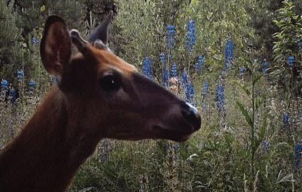 Kuva Milja Viidan lyhytelokuvasta Eläinsilta U3033. Elokuva kuvaa luonnon eläinten ahdasta elämää moottoritien kupeessa. Elokuva on kuvattu osin automaattisilla riistakameroilla. Kuvassa valkohäntäpeura riistasillalla heinäkuussa 2017. Tuotanto Filemo Films, 2018. Kuva: Milja Viita. Yle projekti nro: 3045453. Yle tuotenumero: 4047892
